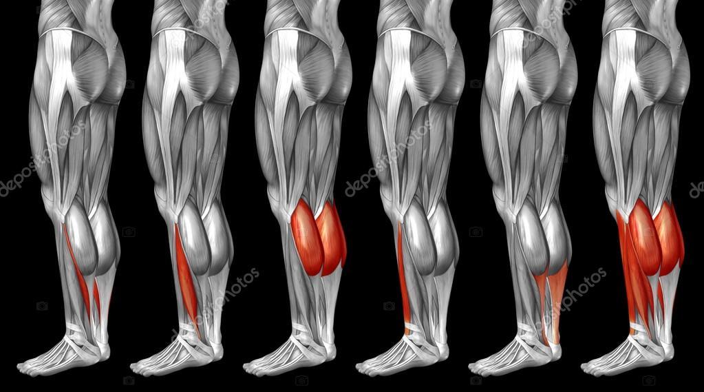 Human Lower Legs Anatomy Stock Photo Design36 126579038
