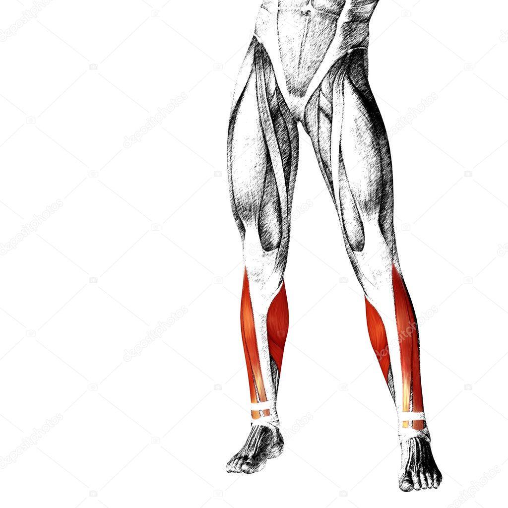 Anatomie der unteren Beine — Stockfoto © design36 #126579614