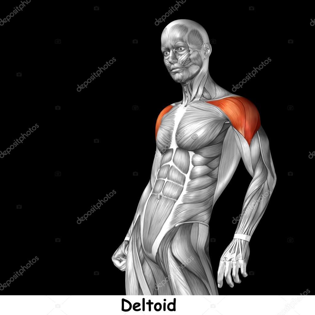 Human Chest Anatomy Stock Photo Design36 126580026