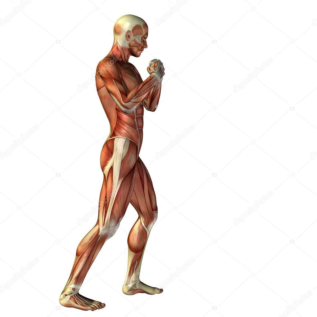 Mann mit Muskeln Anatomie — Stockfoto © design36 #126581368
