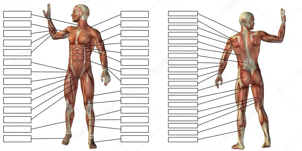 Mann-Anatomie und Muskeln Textfelder — Stockfoto © design36 #126582394