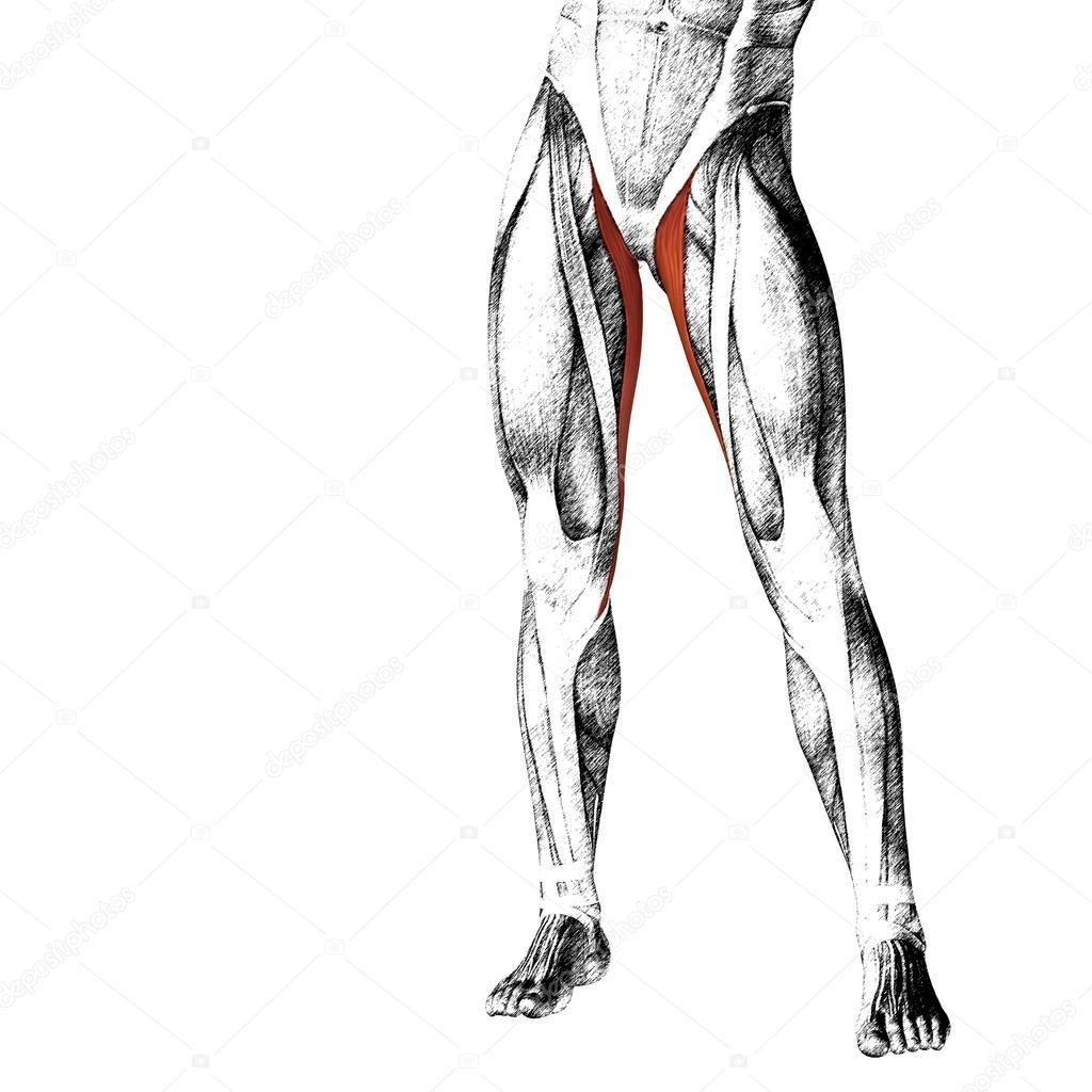 menschliche Oberschenkel-Anatomie — Stockfoto © design36 #126583106