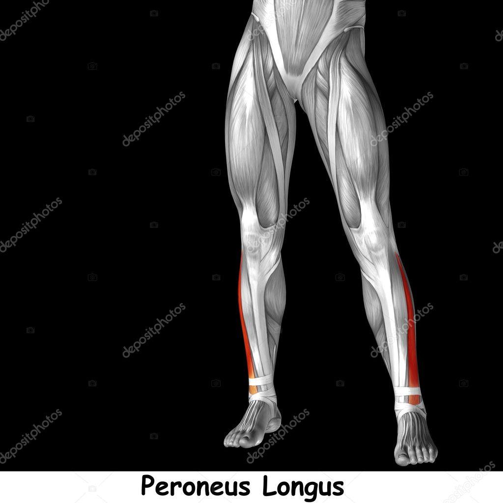 Ungewöhnlich Anatomie Des Linken Beines Galerie - Menschliche ...