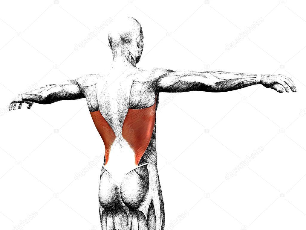 Anatomie des Menschen zurück — Stockfoto © design36 #126583330