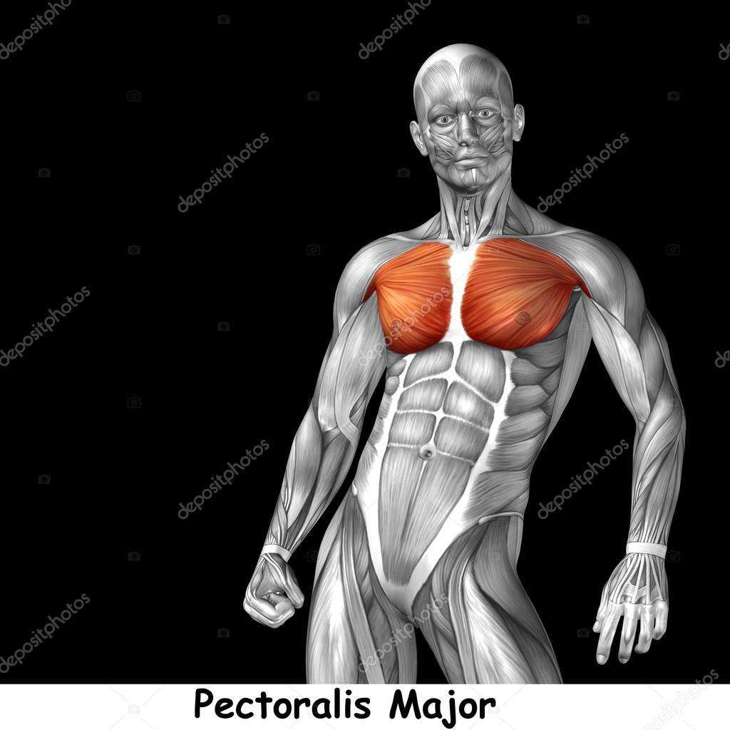 Anatomie der menschlichen Brust — Stockfoto © design36 #126586146