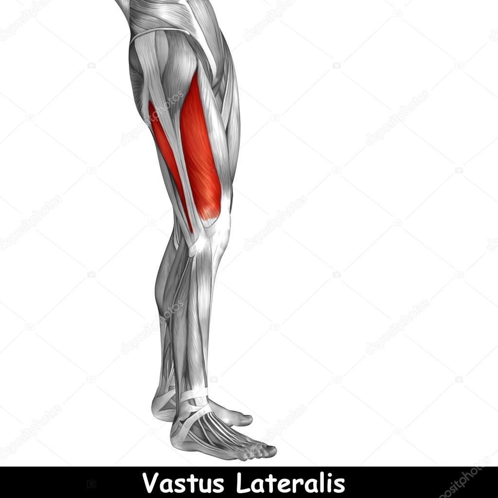menschliche Oberschenkel-Anatomie — Stockfoto © design36 #126591276