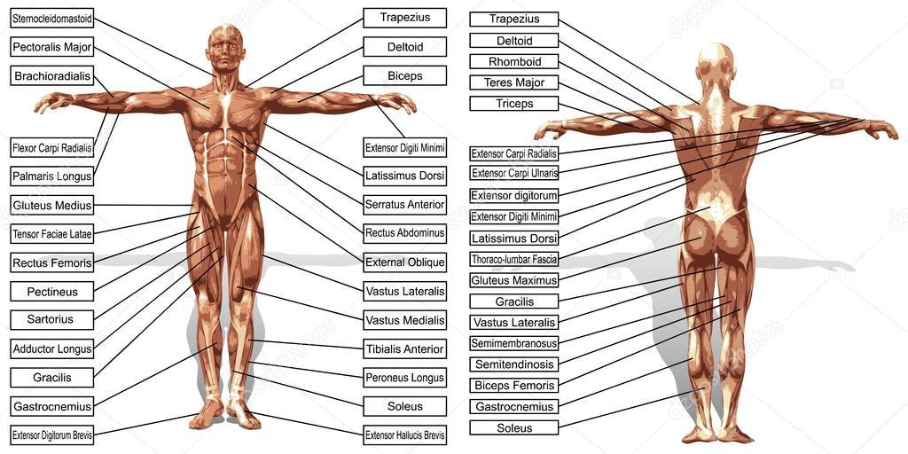 Mann Muskeln Anatomie mit text — Stockvektor © design36 #126591818