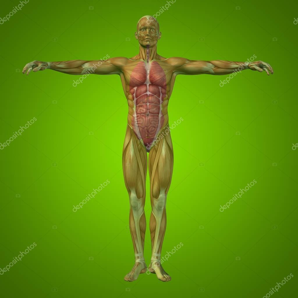 Mann-Struktur mit inneren Organen — Stockfoto © design36 #129327388