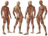 konzeptionelle menschliche Anatomie