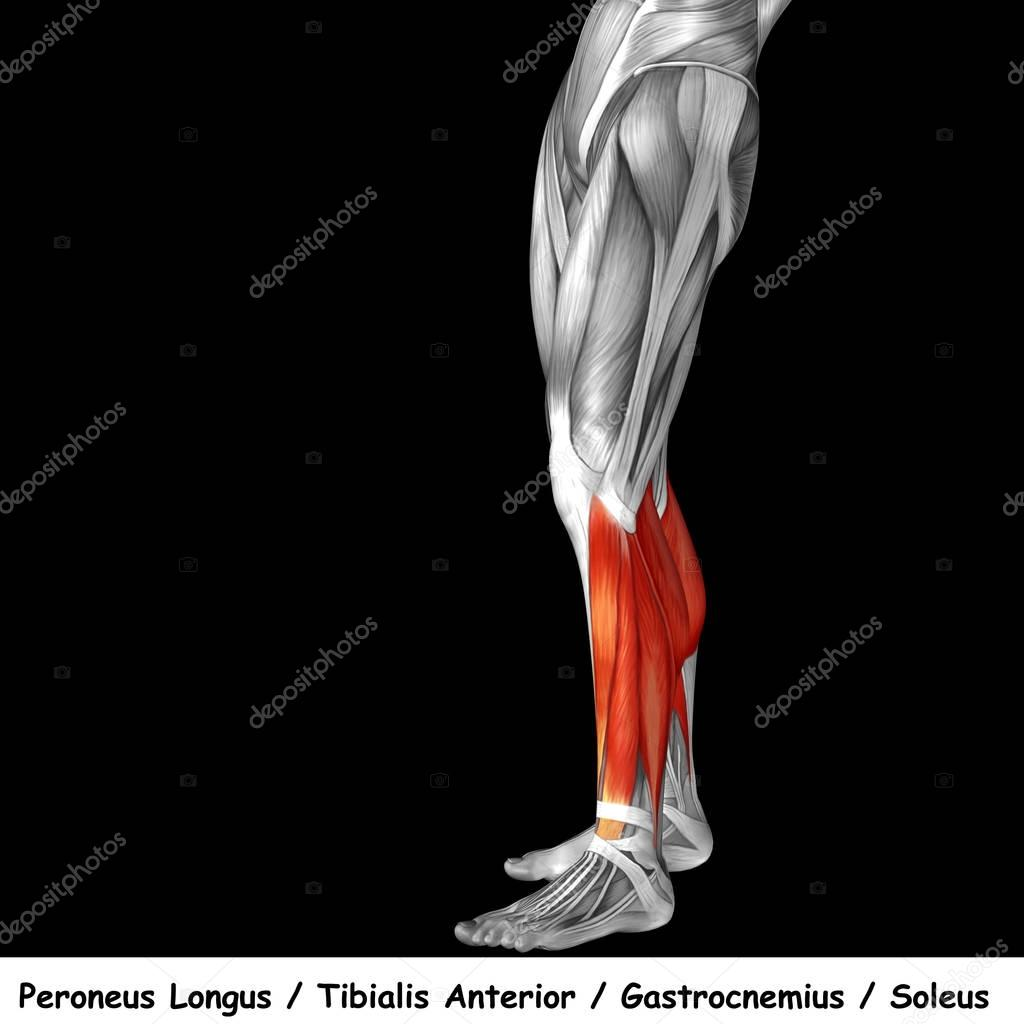 Anatomía de las piernas más baja — Fotos de Stock © design36 #129333244