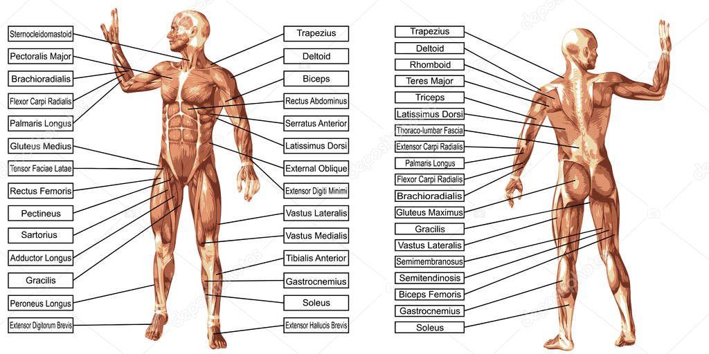 texto de anatomía y músculos de hombre — Fotos de Stock © design36 ...