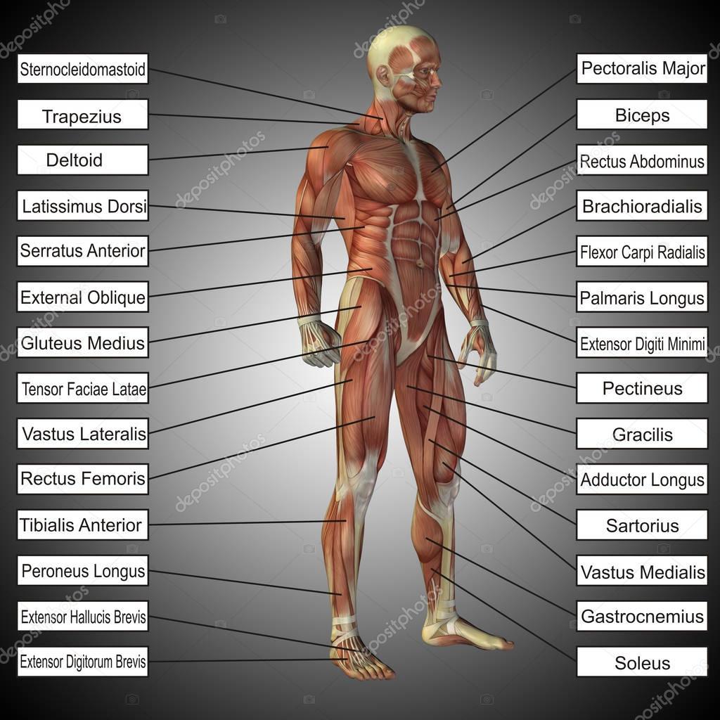 anatomía humana con músculos y texto — Fotos de Stock © design36 ...