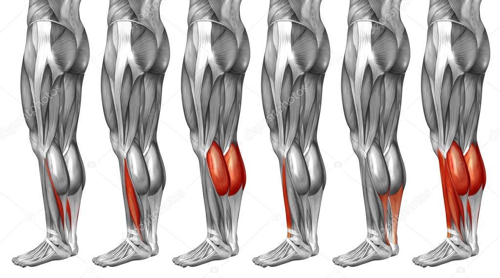 Lower Legs Anatomy Stock Photo Design36 129340806