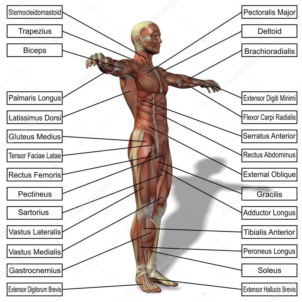anatomía humana con músculos y texto — Foto de stock © design36 ...