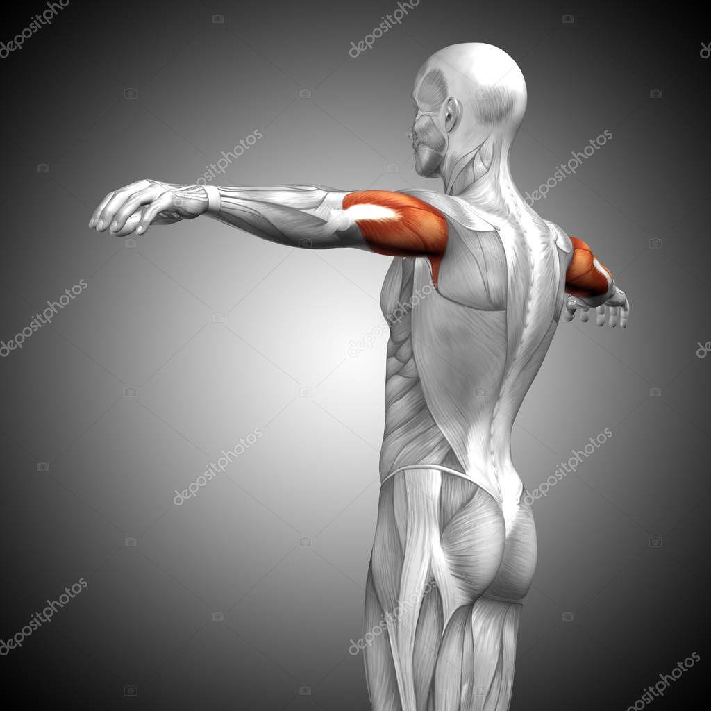 Trizeps menschliche Anatomie — Stockfoto © design36 #129343948