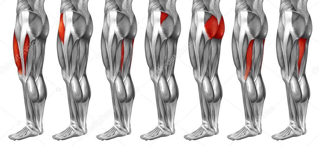 human upper legs anatomy — Stock Photo © design36 #129344550