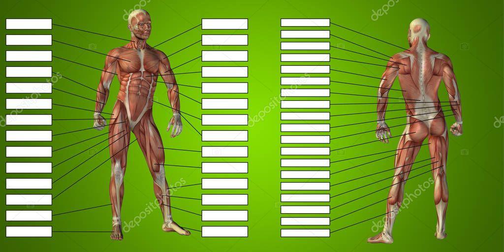 Anatomie mit Muskeln und Textfelder — Stockfoto © design36 #129346004