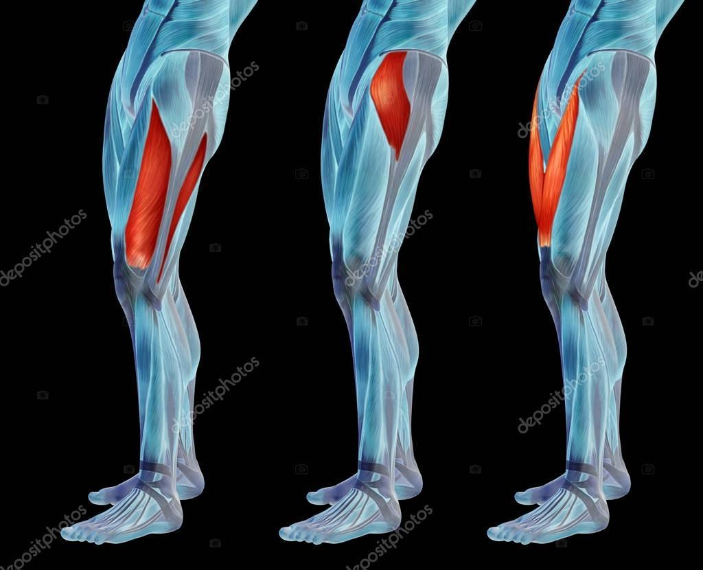 anatomía humana piernas superiores — Foto de stock © design36 #129347656