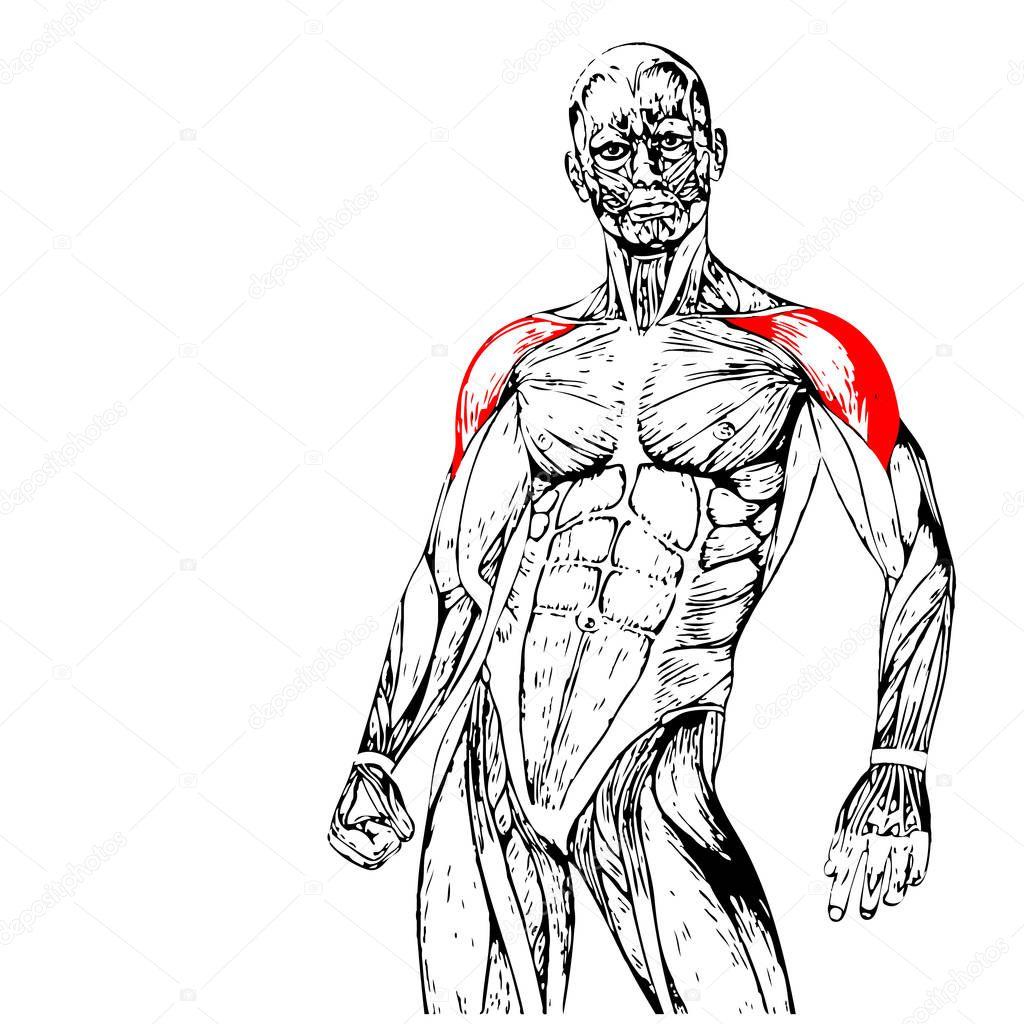 Anatomía del pecho — Foto de stock © design36 #129351078