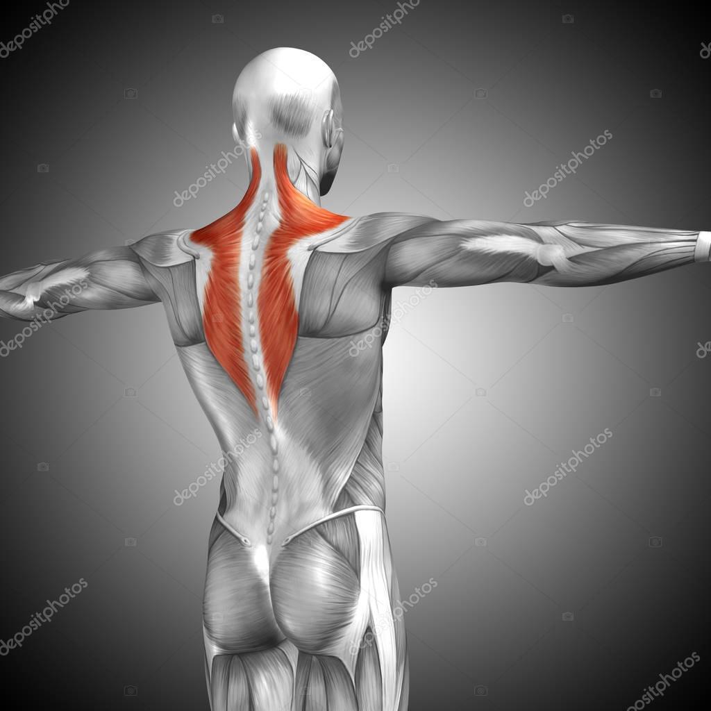 Wieder menschliche Anatomie — Stockfoto © design36 #129351942