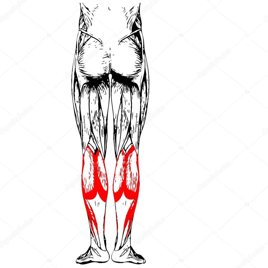 untere Bein Anatomie — Stockfoto © design36 #129352400