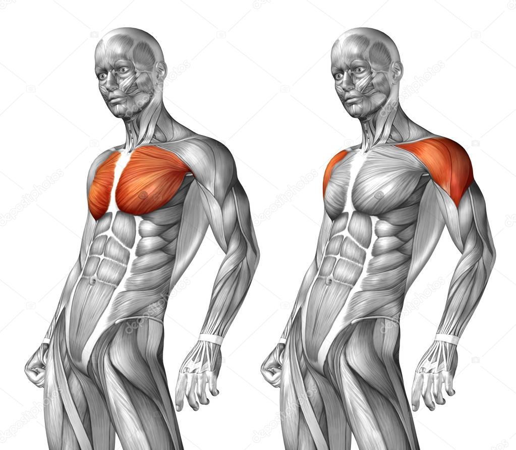 Chest Human Anatomy Stock Photo Design36 129352510