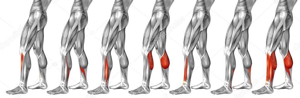 lower legs anatomy — Stock Photo © design36 #129353656
