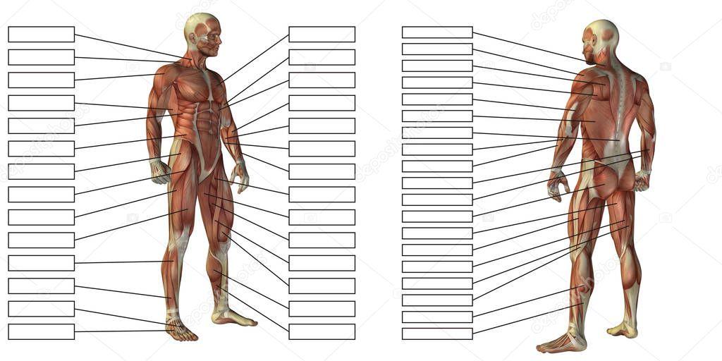 Mann-Anatomie und Muskel-Textfelder — Stockfoto © design36 #129354910
