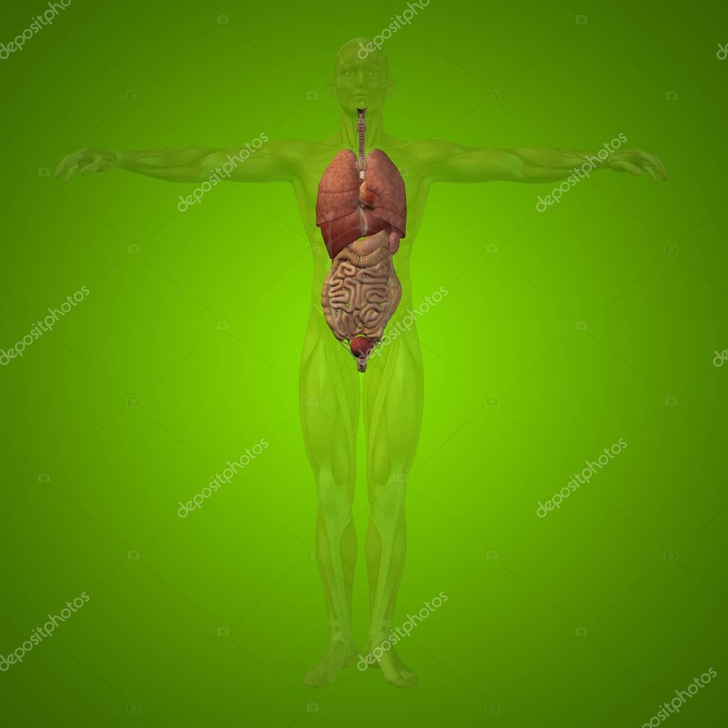 Mann-Struktur mit inneren Organen — Stockfoto © design36 #129354914