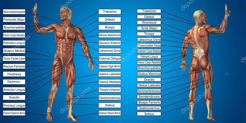 Anatomía hombre con músculos y texto — Fotos de Stock © design36 ...