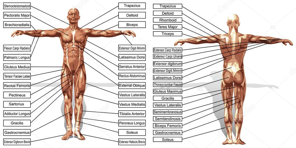 man anatomy and muscles text — Stock Photo © design36 #129356374