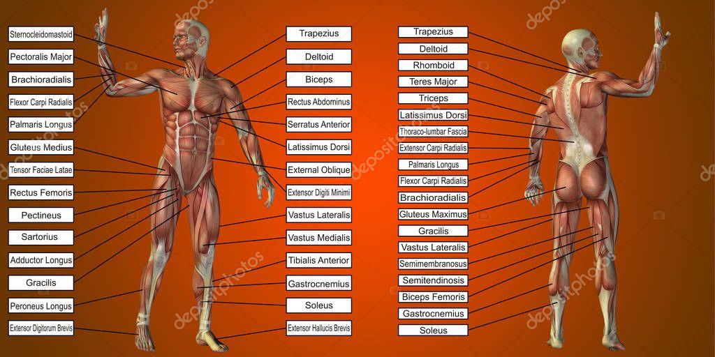 Anatomía hombre con músculos y texto — Foto de stock © design36 ...