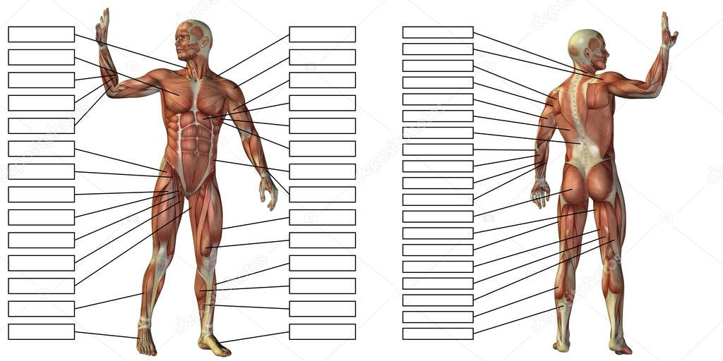 Mann-Anatomie und Muskel-Textfelder — Stockfoto © design36 #129359086