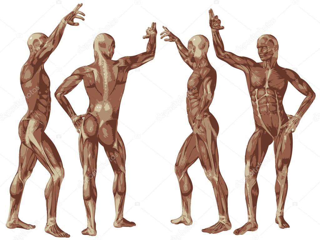 grundlegende menschliche Anatomie — Stockfoto © design36 #129360744