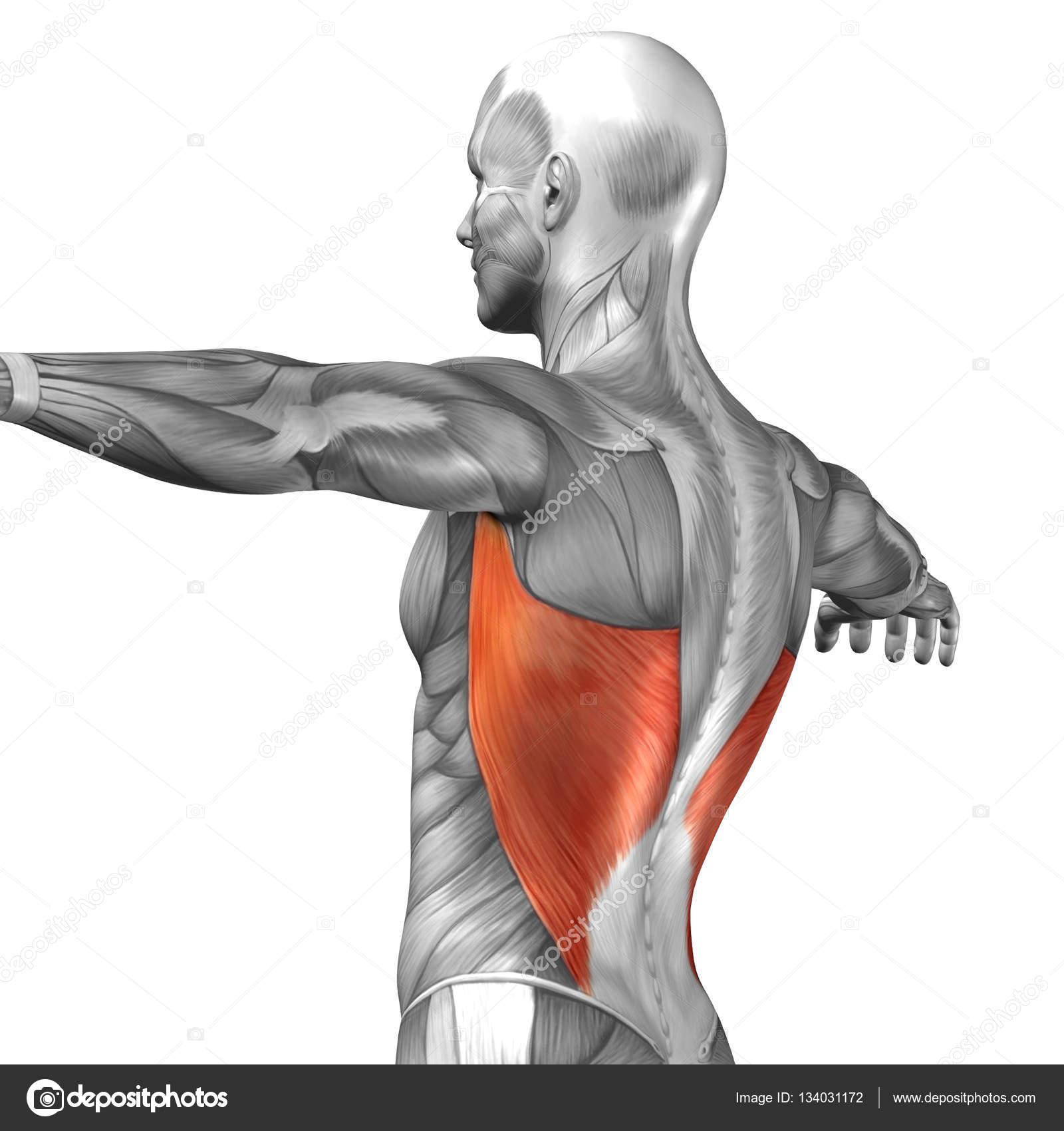 Estructura de la musculatura de la espalda de hombre — Foto de stock ...