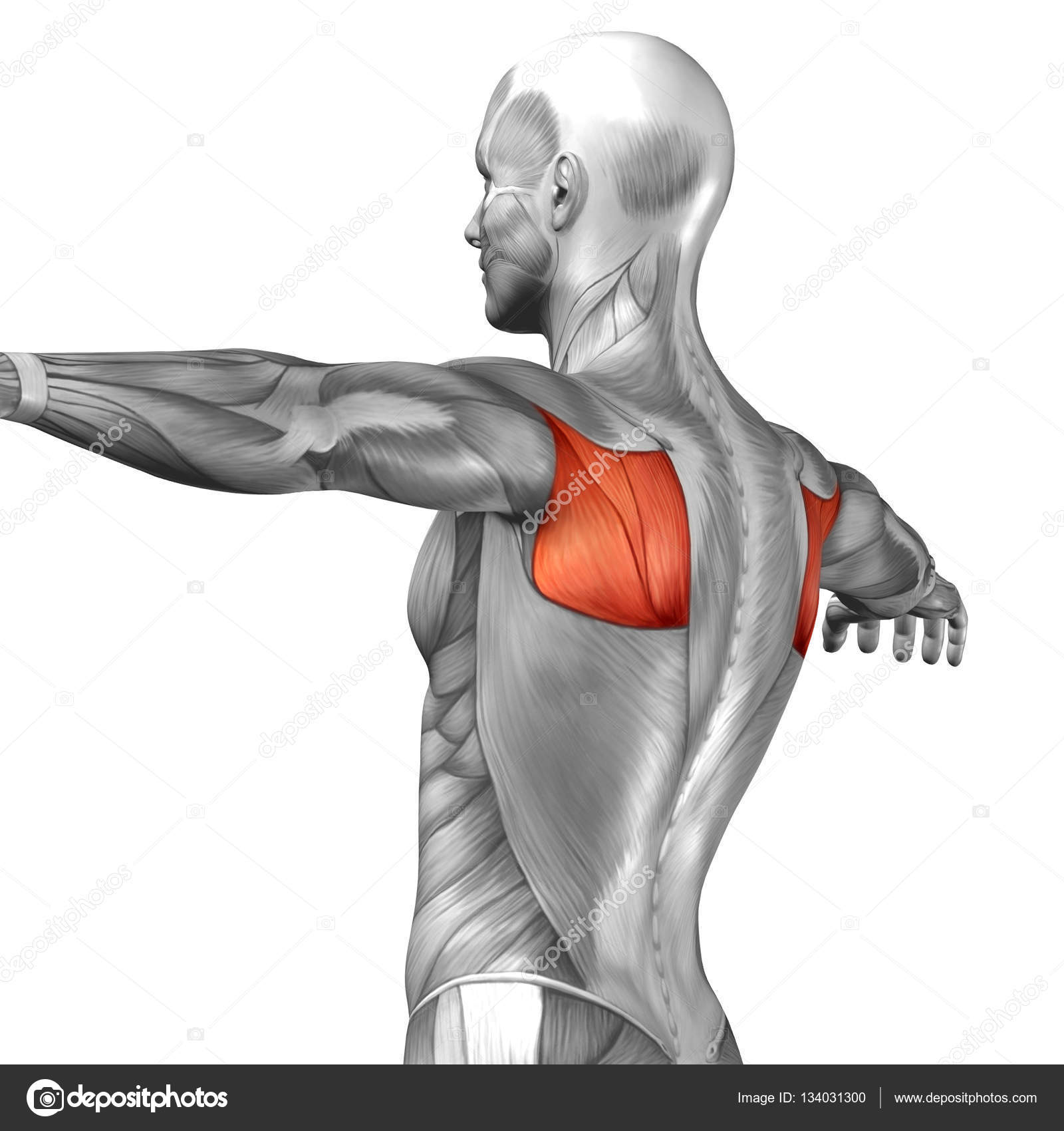 Rückenmuskulatur Struktur des Menschen — Stockfoto © design36 #134031300