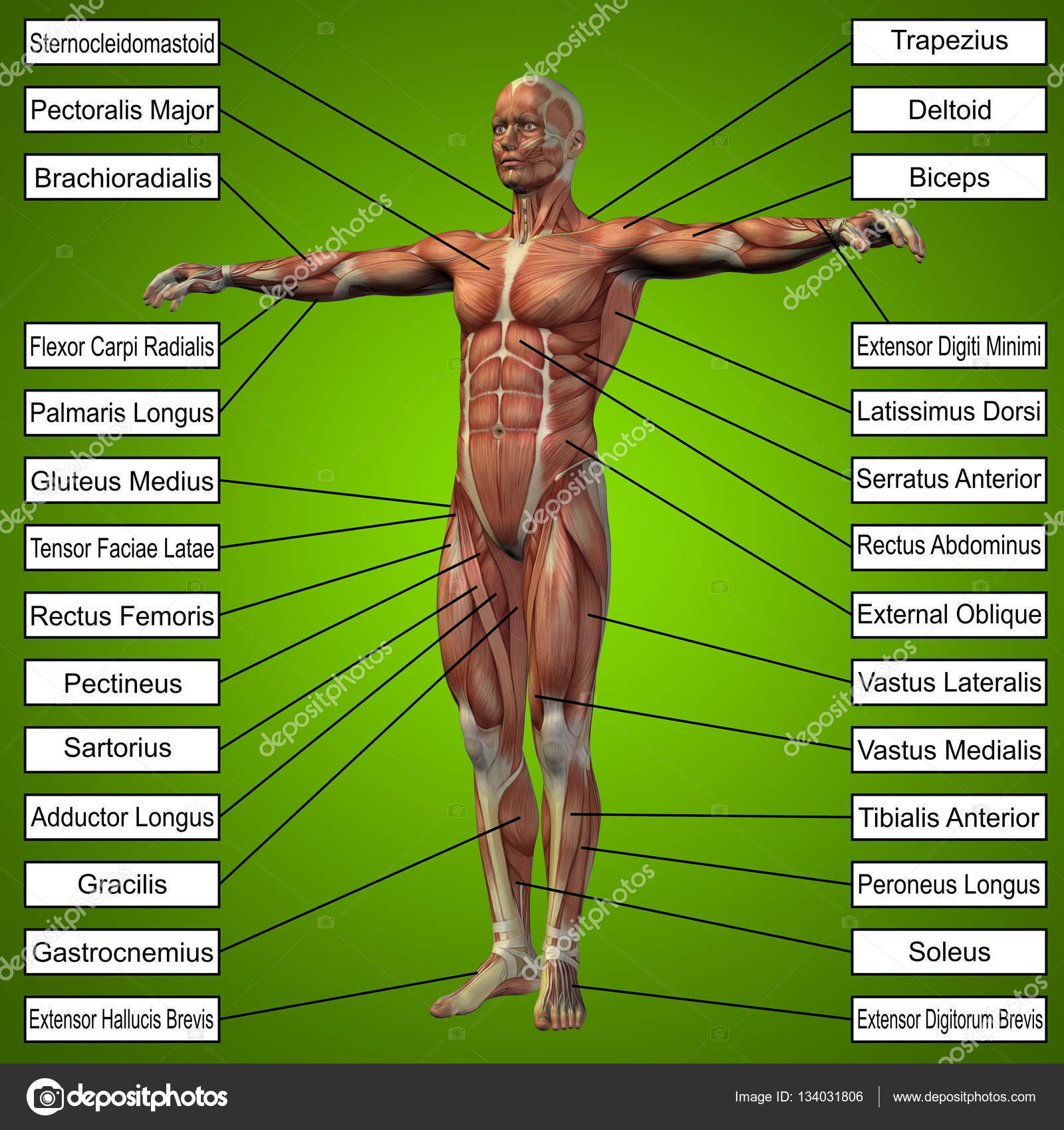 Menschliche Anatomie mit Muskeln — Stockfoto © design36 #134031806