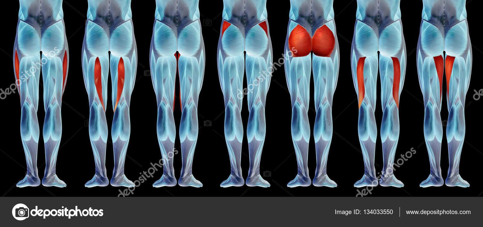 Oberschenkel-Anatomie — Stockfoto © design36 #134033550