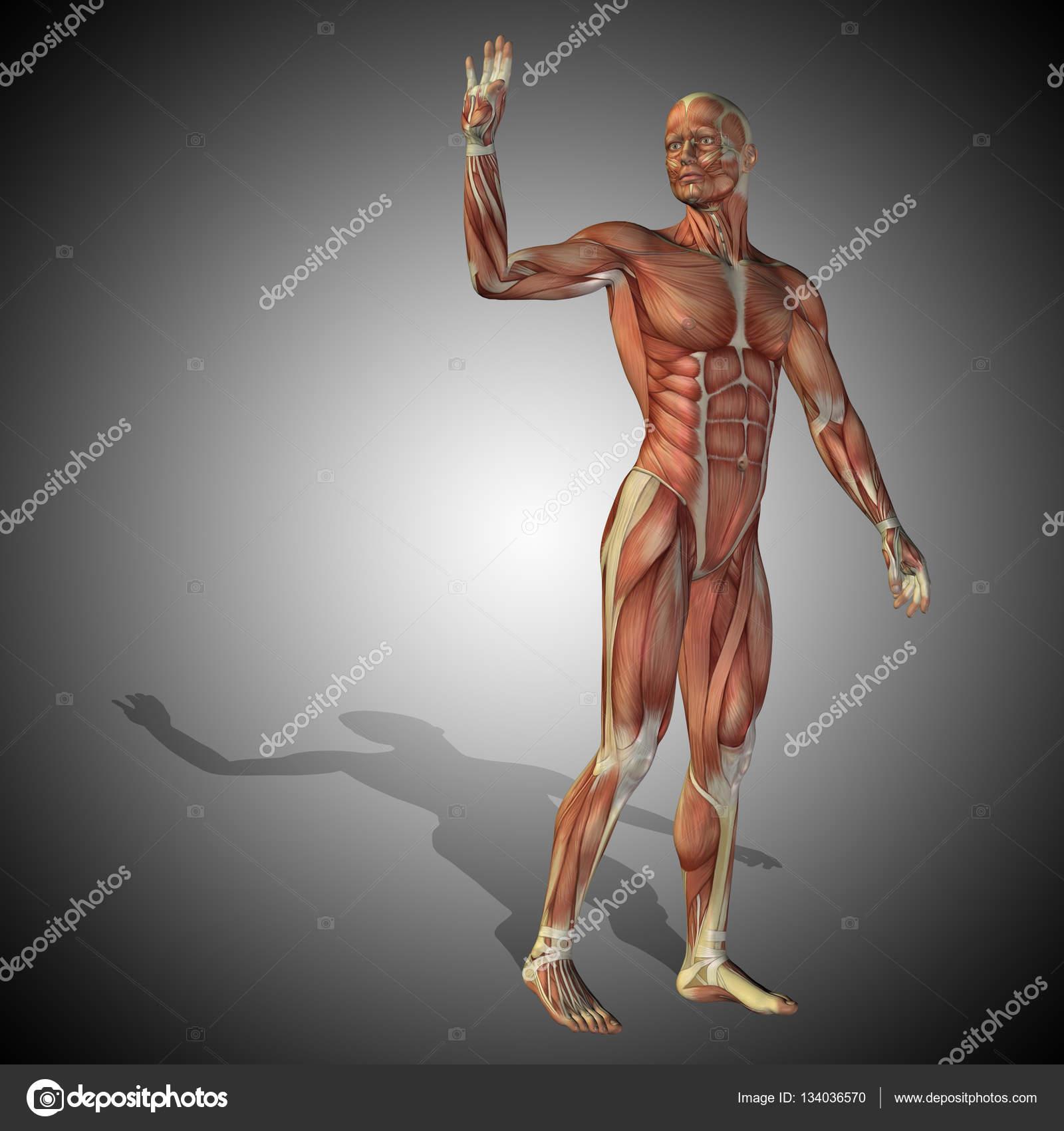Anatomie Körper mit Muskeln starke Menschen — Stockfoto © design36 ...