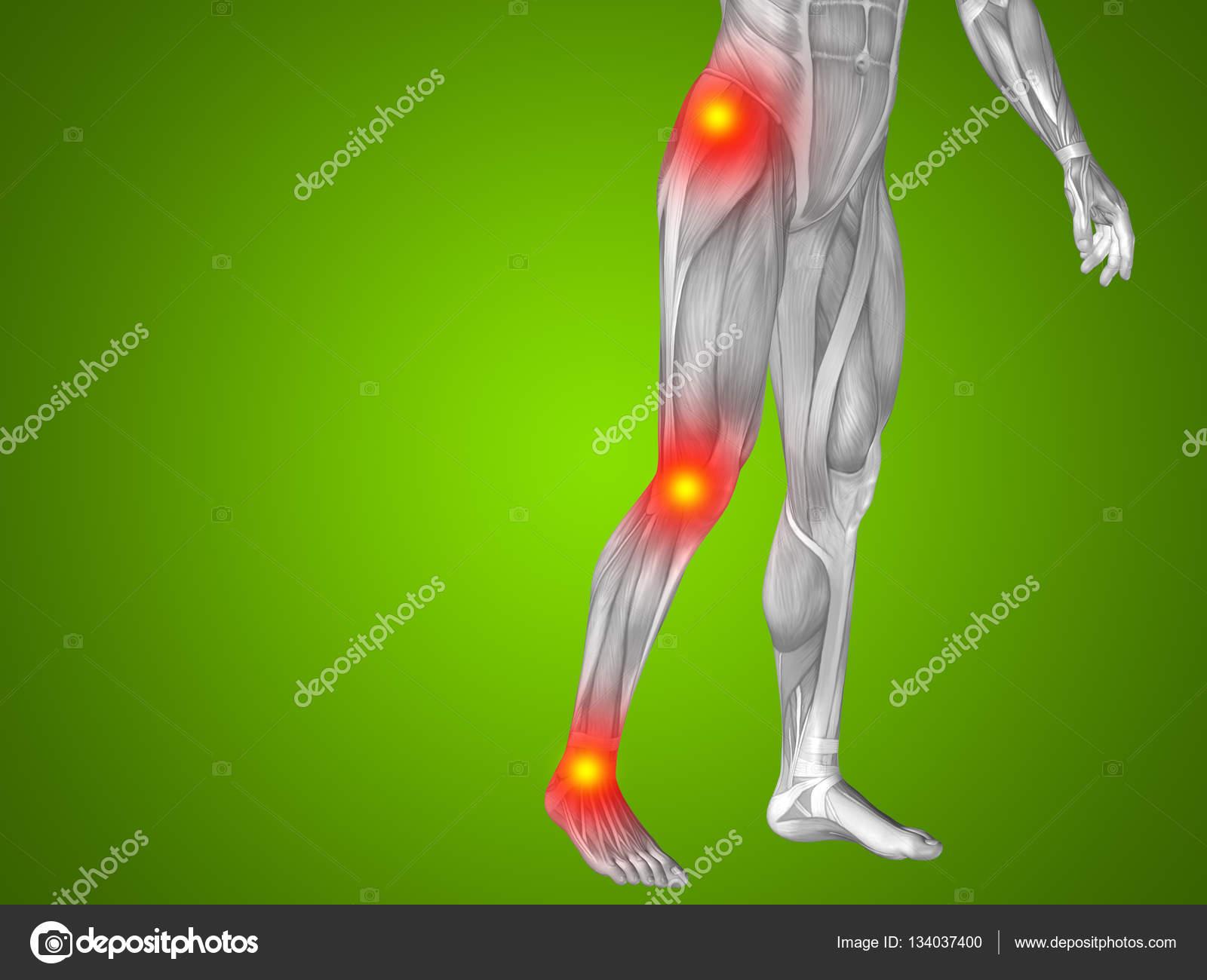 Mann menschlich Anatomie Unterkörper — Stockfoto © design36 #134037400