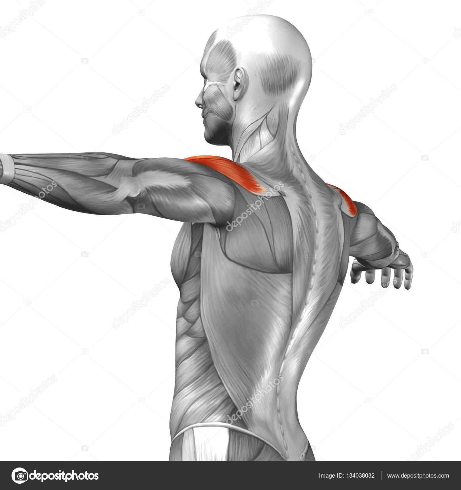músculos del brazo humano — Fotos de Stock © design36 #134038032