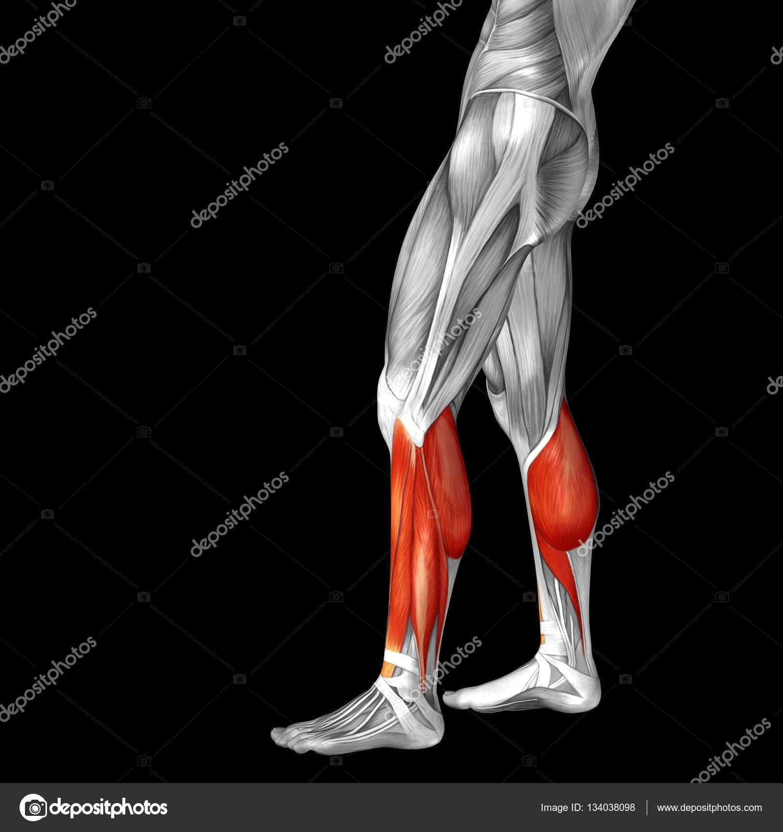 Anatomía de la pierna inferior — Foto de stock © design36 #134038098