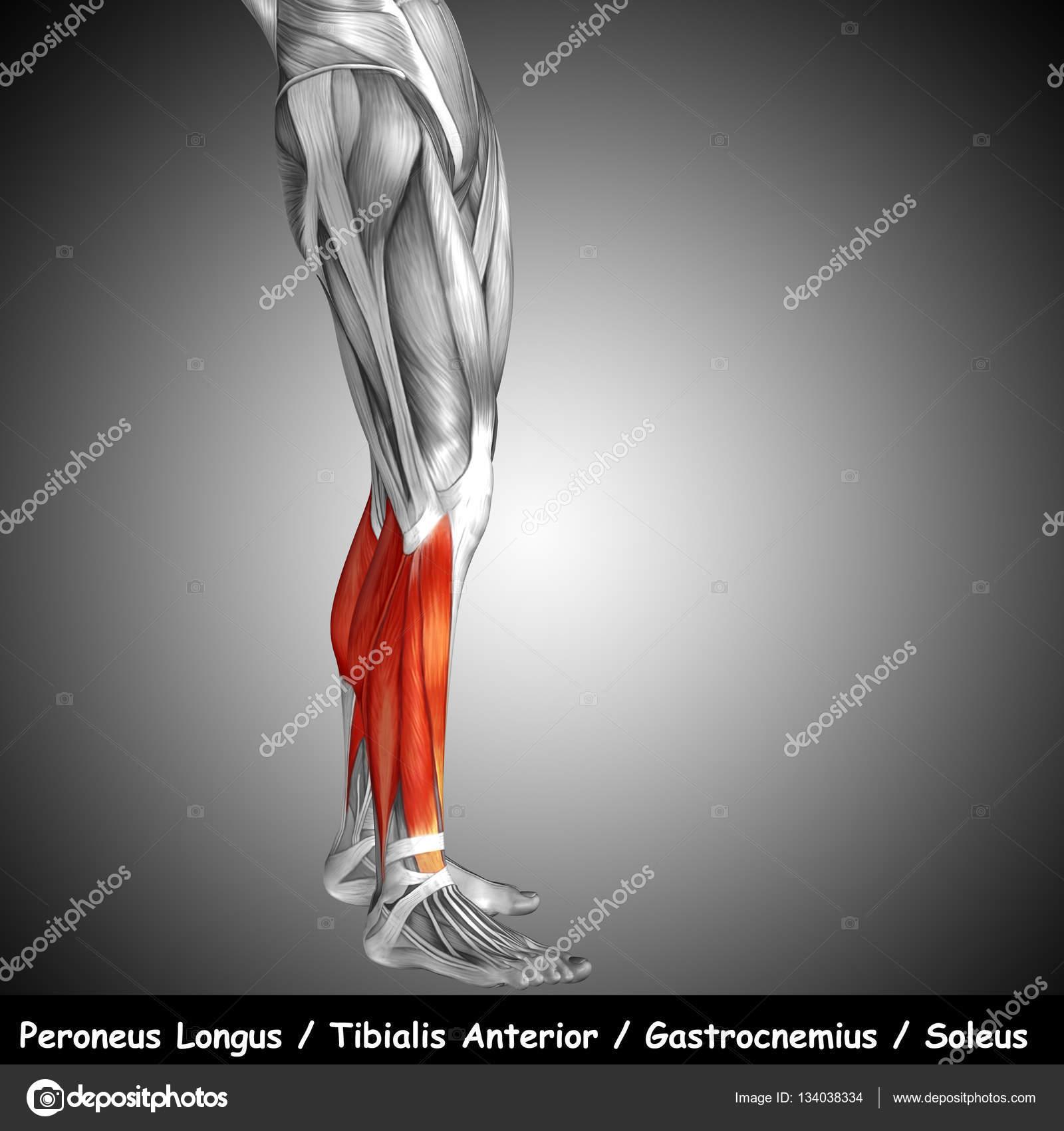 untere Bein Anatomie — Stockfoto © design36 #134038334