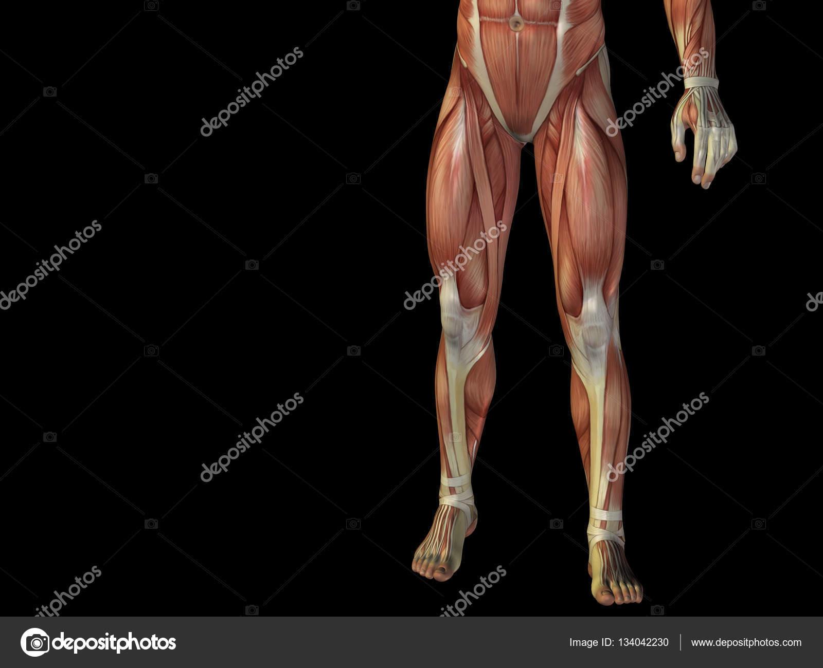 Mensch-Anatomie-Unterleib — Stockfoto © design36 #134042230