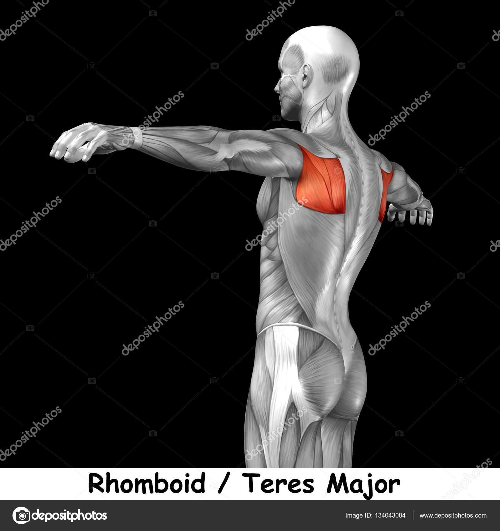 Anatomie des Menschen zurück — Stockfoto © design36 #134043084