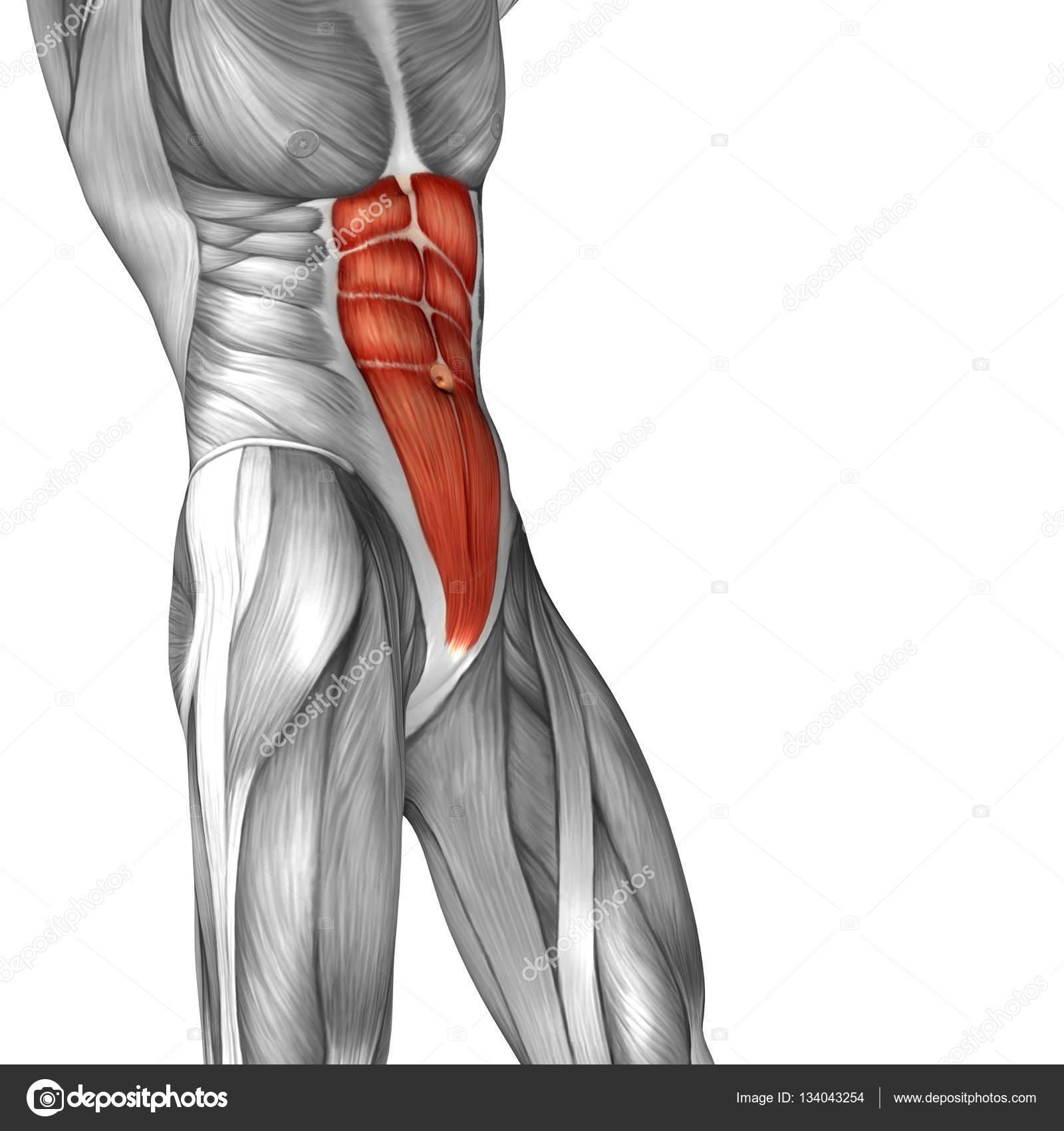 Músculos del abdomen humano — Fotos de Stock © design36 #134043254