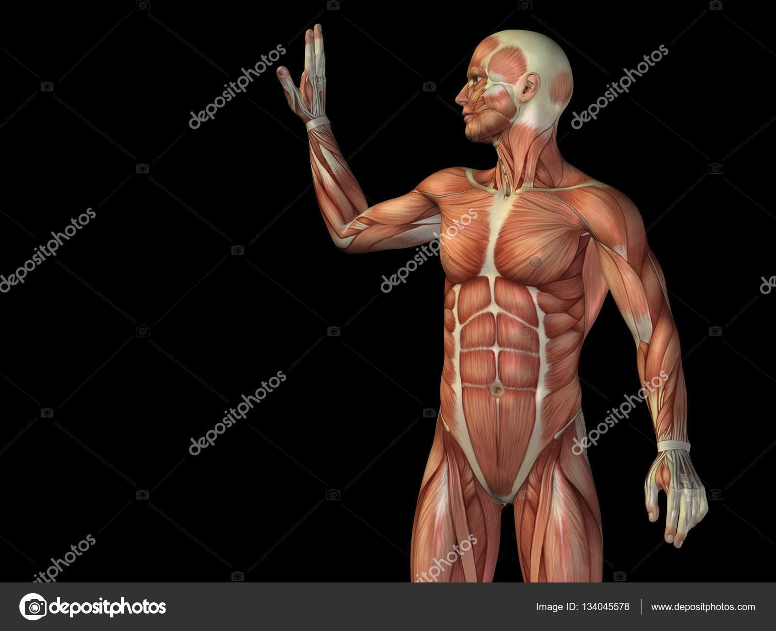 cuerpo de anatomía humana con los músculos — Fotos de Stock ...