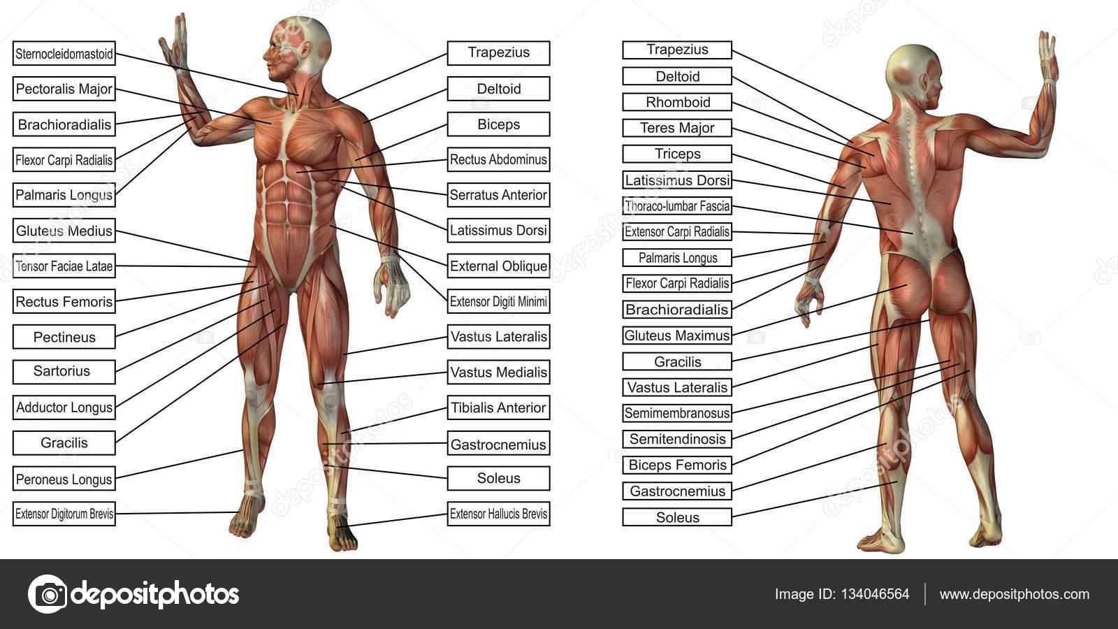 menschliche Anatomie mit textbox — Stockfoto © design36 #134046564