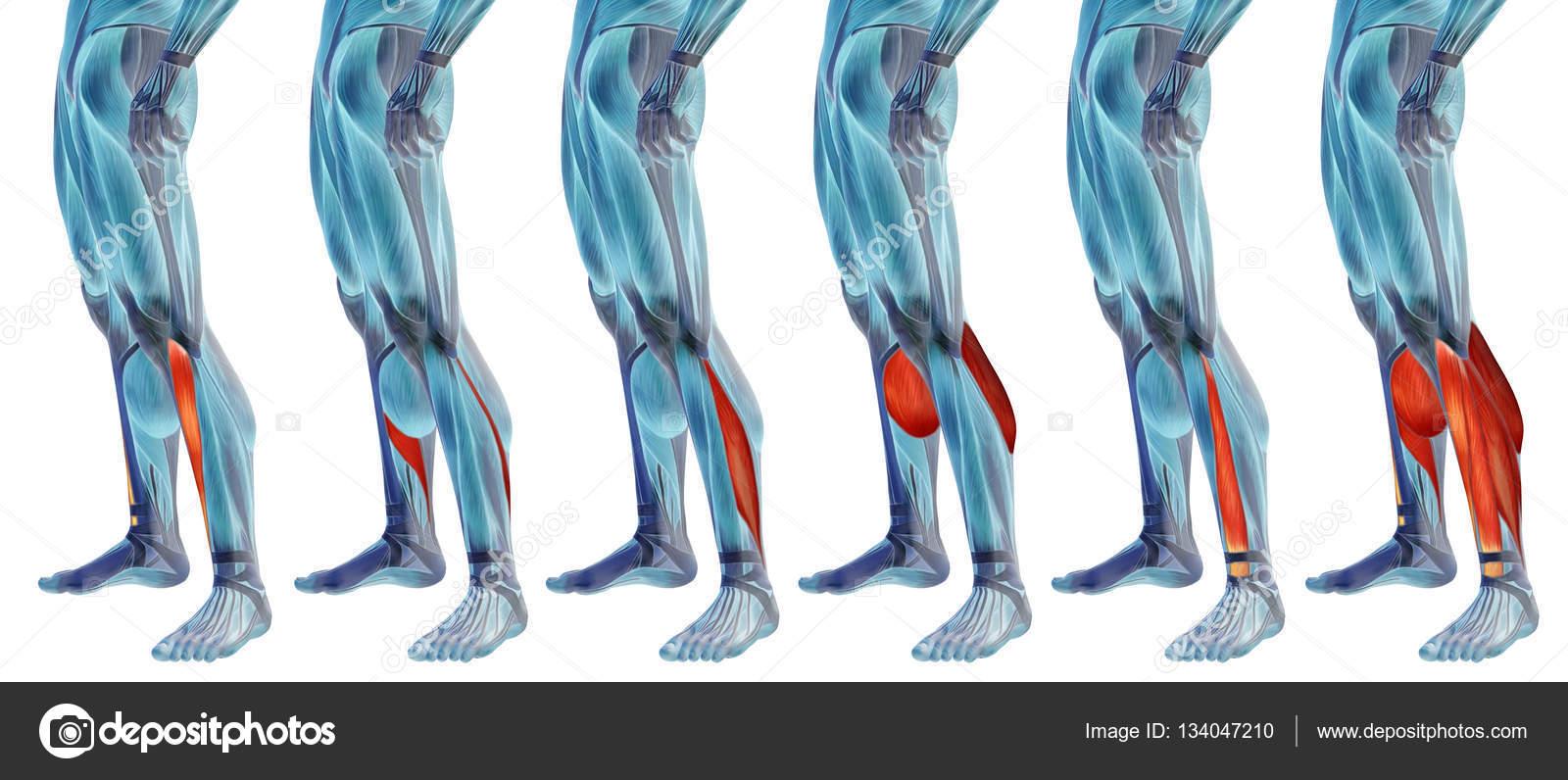 Concepto o conceptual 3d inferior pierna anatomía o anatómicos y el ...