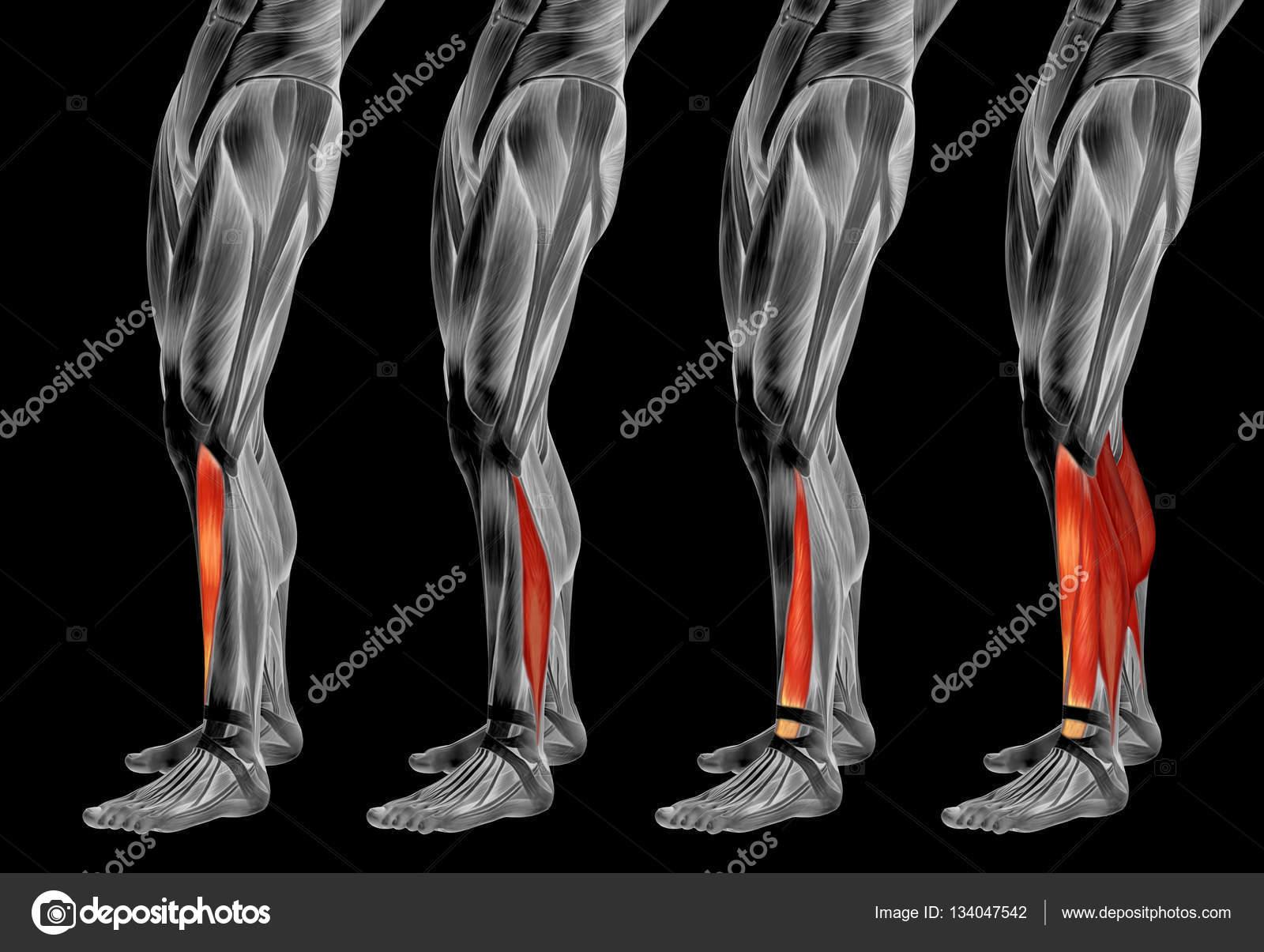 Anatomía de la pierna inferior — Fotos de Stock © design36 #134047542
